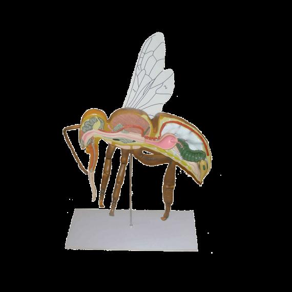 האנטומיה של הדבורה